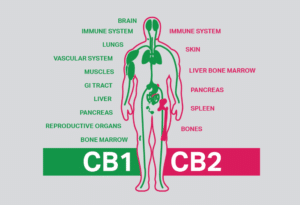 ECS All about the Endocannabinoid System