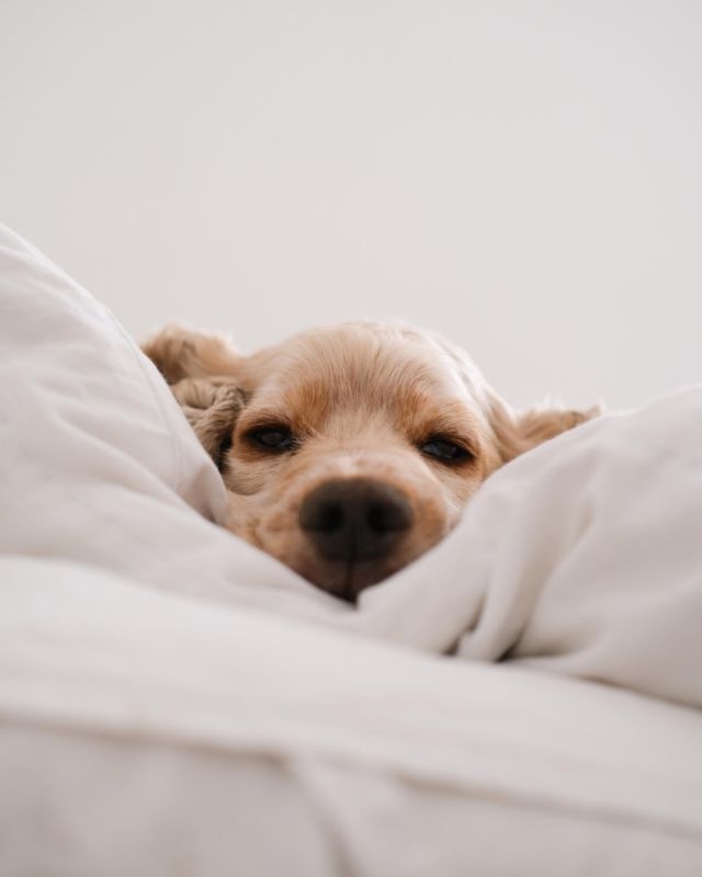 """Safe CBD Fur Everyone 🐶🐱  If you are a pet owner looking to purchase CBD oil, you're at the right place 💫  Our CBD Pets products have been formulated specifically with your dogs and cats in mind:  ✅ We use natural, pet-grade organic ingredients with broad spectrum, whole-plant hemp extract ✅ Our formulas are hemp-extracted, not marijuana-extracted ✅ Our hemp extracts do not contain any pesticides or chemicals  ✅ All of our CBD products are non-psychoactive (no """"high"""") and safe for daily use ✅ CBD is non-toxic in general, for both humans and pets  If you're unsure of how much CBD is right for your pet, hit the link in our bio for a guide on our recommended daily amounts 🤗   . . . . . #puppy #dogs #pet #petlover #cats #kittens #cbdoil  #cbdforcats #cbddogs #cbdpetoil #cbddog #broadspectrum #cbdoilfordogs #cbdfordogs #cbdforptsd #cbdforpets"""